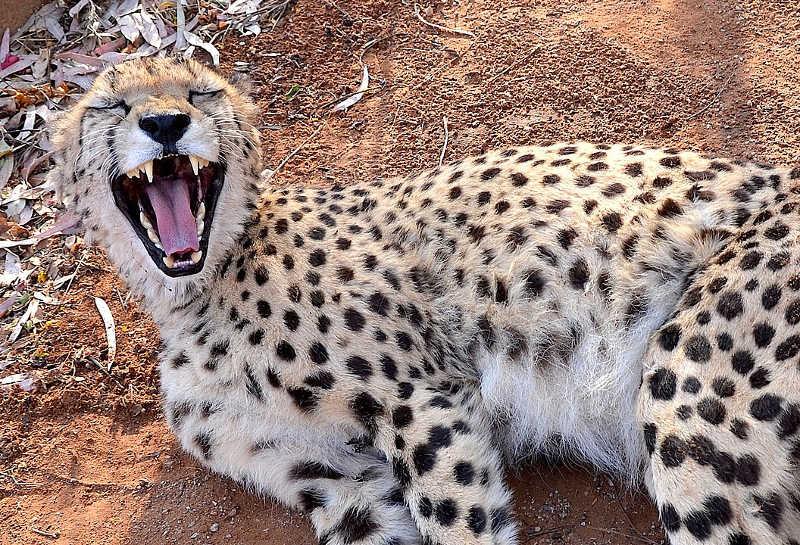 uśmiechnięty gepard w namibii