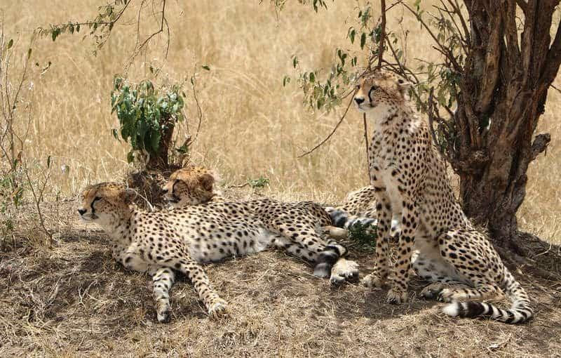 gepardy w grupie