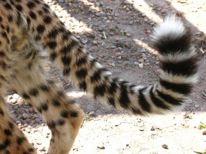 ogon geparda
