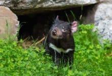 Photo of Diabeł tasmański – fascynujące fakty o mięsożernym torbaczu