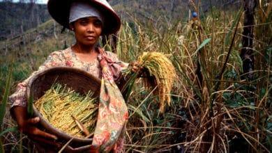 Photo of Ryż i jego tajemnice: kalorie, rodzaje i arszenik