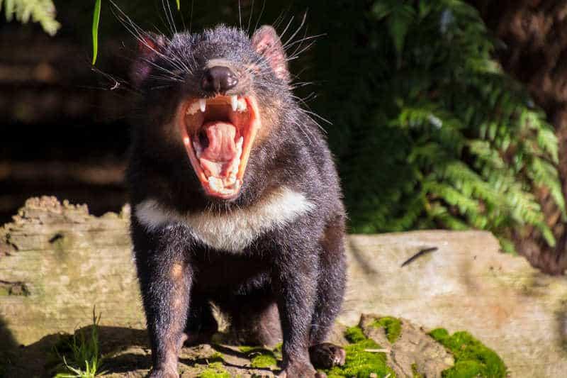 diabeł tasmański krzyk