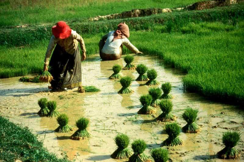 uprawa ryżu