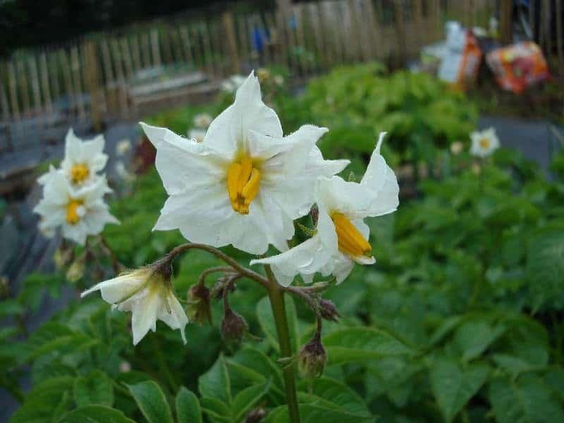 kwiat ziemniaka