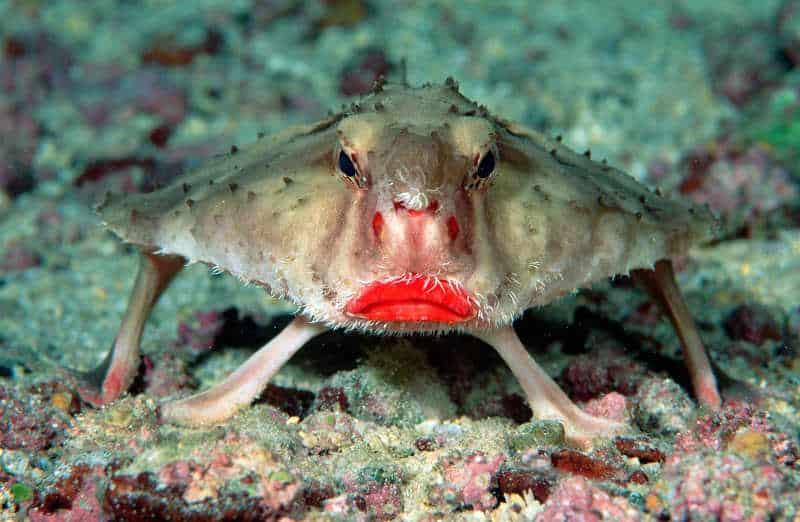 ryba z czerwonymi ustami
