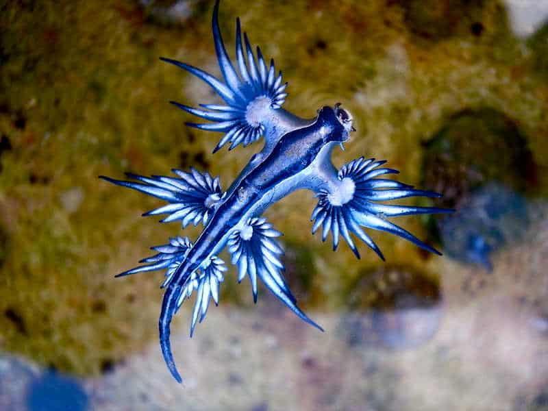 dziwne zwierzęta: niebieski smok