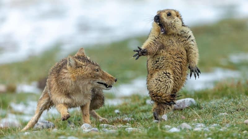 Zdjęcie przyrody 2019. Lis tybetański atakujący świstaka.