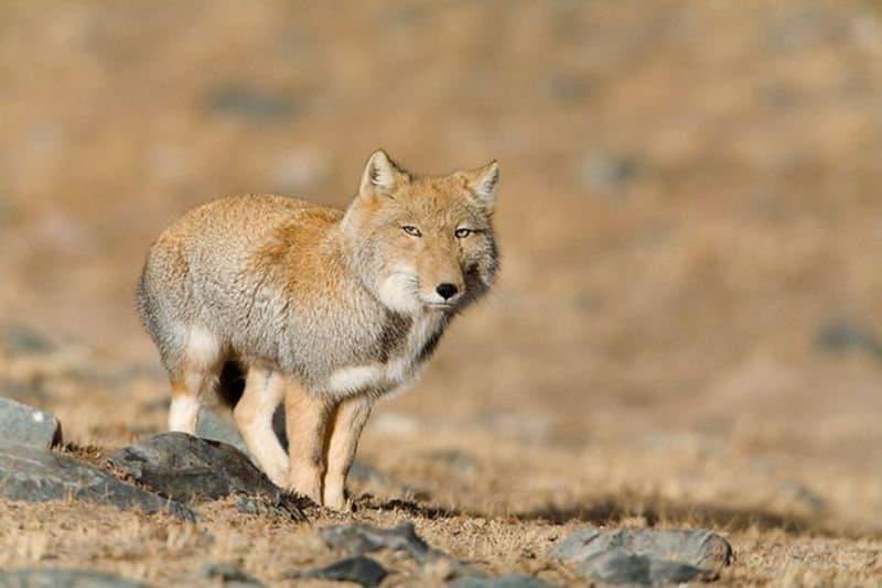 tibetian sand fox