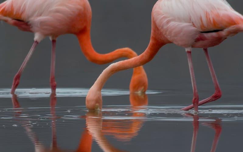 flamingi zanurzające głowy w wodzie
