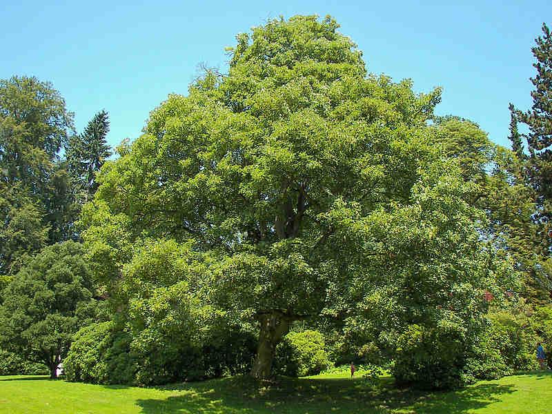 drzewa w Polsce: jawor