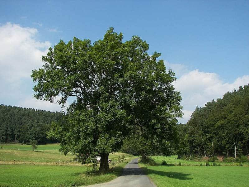 drzewa w Polsce: jesion