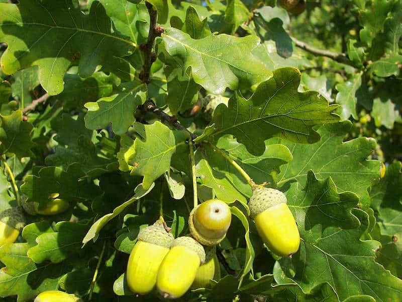 dąb szypułkowy, liście i żołędzie