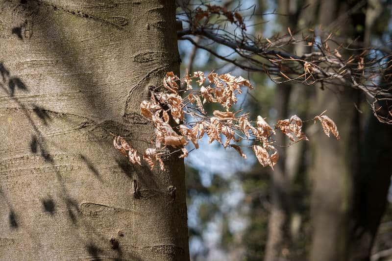 Drzewa w Polsce: buk