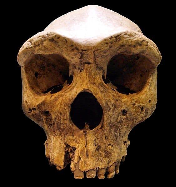 replika czaszki Homo Rhodesiensis