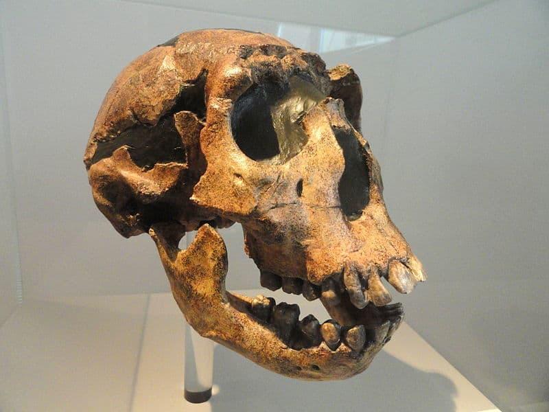 gatunki człowieka - czaszka homo ergaster