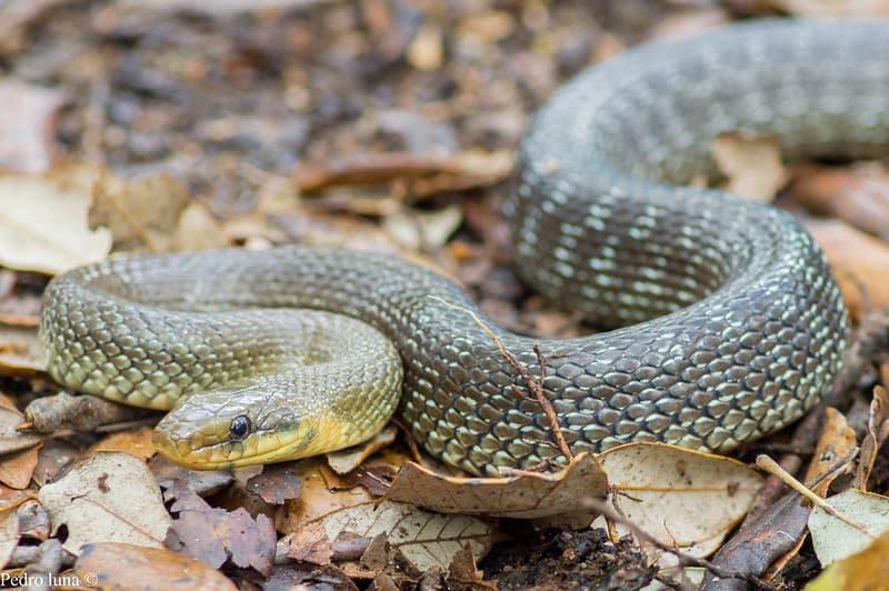 Węże w Polsce - Wąż Eskulapa - Zamenis longissimus