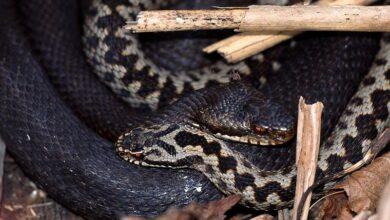 węże w polsce