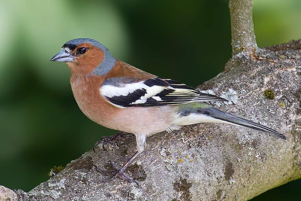 ptaki polskie - zięba zwyczajna