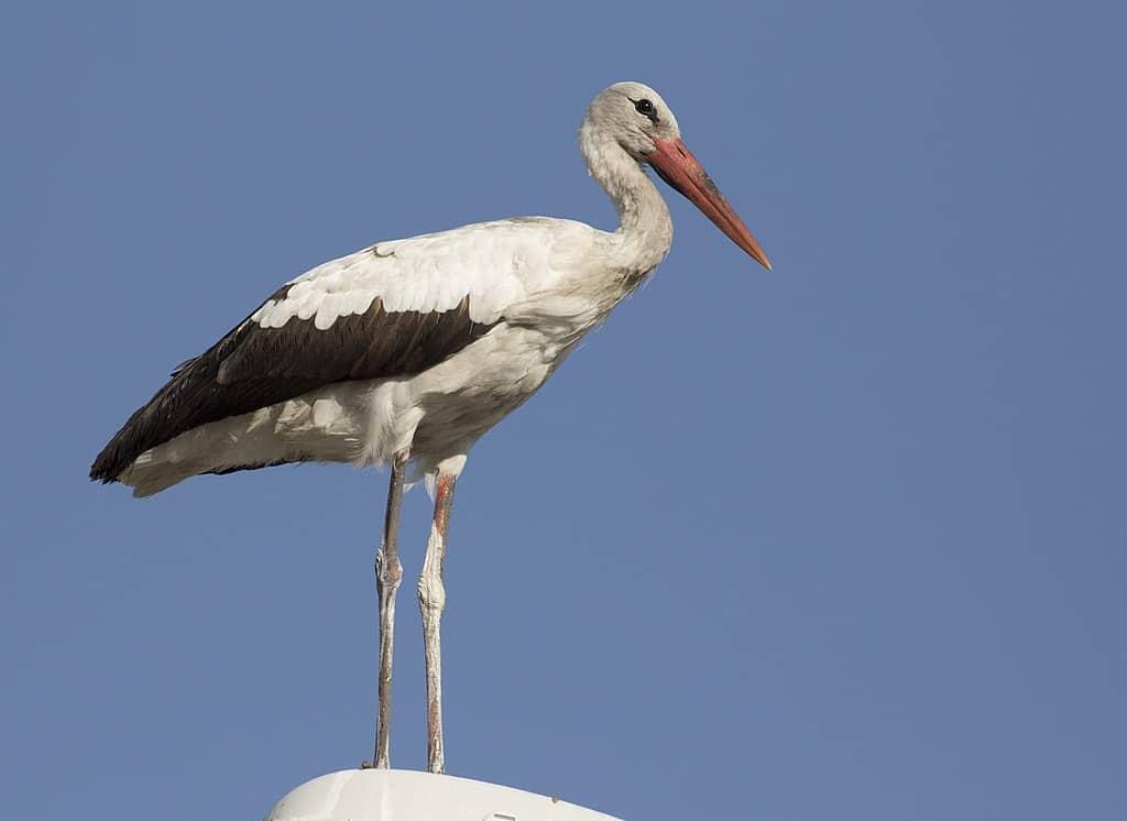 Ptaki polskie: Bocian Biały