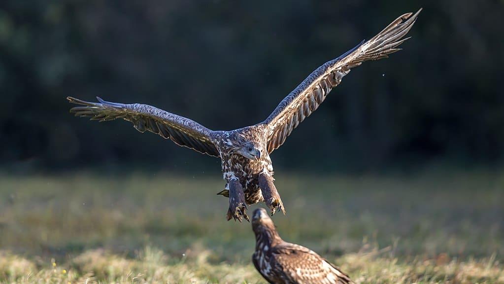 Ptaki Polskie - Bielik zwyczajny