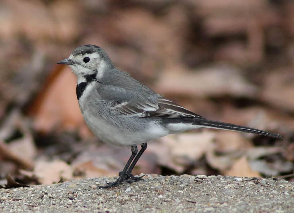 Ptaki polskie: pliszka siwa