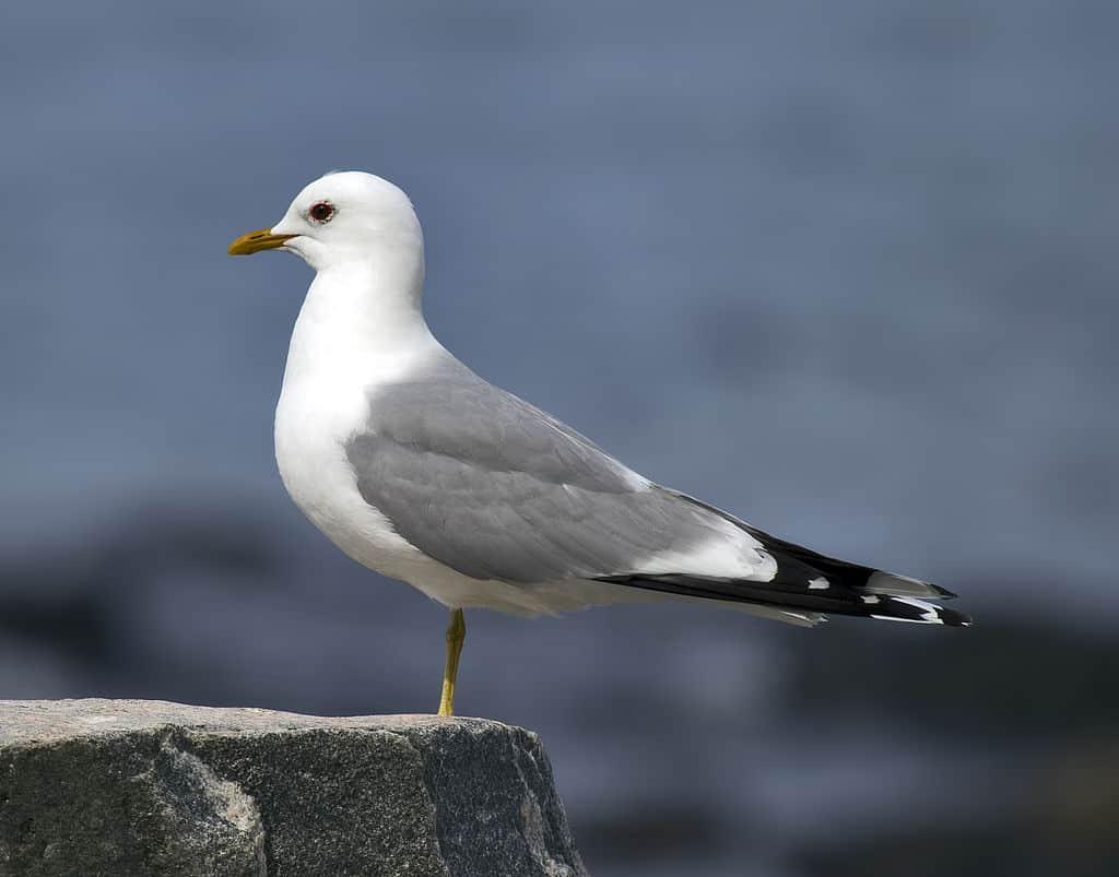 ptaki polskie - mewa siwa