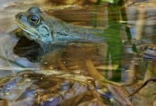 płazy w Polsce - żaba moczarowa