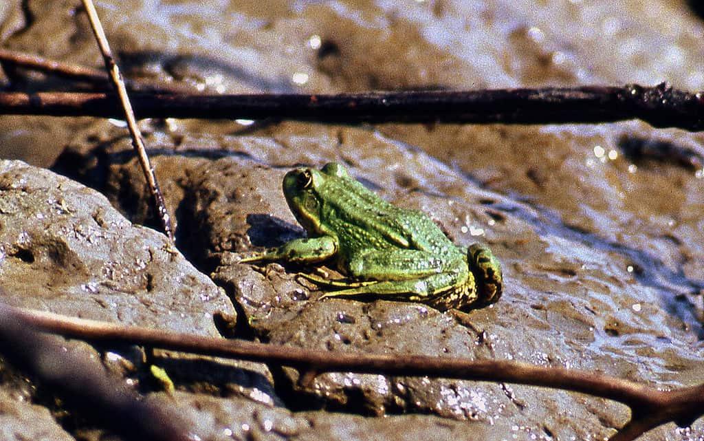 żaba śmieszka